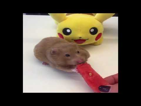 Funniest Hamsters Of All Time #4 - Funny Hamster Videos Compilation 2018