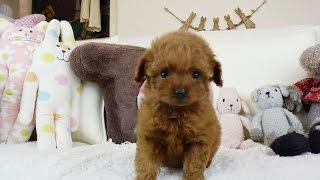 お顔の小ささは今まで多くの子犬を見ていますが1番短いかもしれません!...