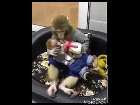 Chanda hai tu mera suraj hai tu| funny Monkey video|like like share Subscribe