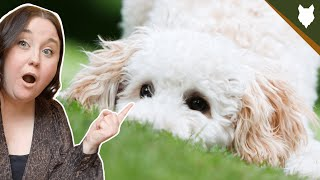 Why you SHOULD NOT get MINIATURE POODLE