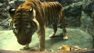 2011年1月10日 成人の日 場所:静岡市日本平動物園 猛獣館299 アム...