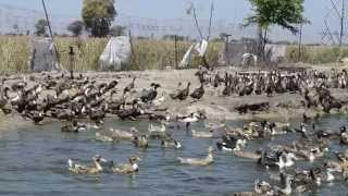 zorba ducks