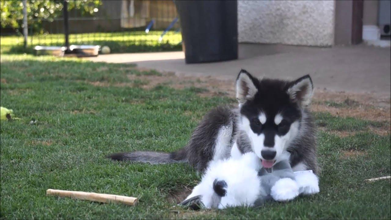 Alaskan Malamute Puppies 11 weeks old - YouTube