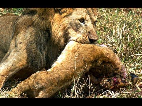 Animal Cannibalism Animal Fights compilation  WildLife