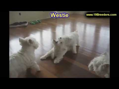 West Highland Terrier, Puppies, For, Sale, In, New Orleans, Louisiana, LA, Jefferson, Bayou Blue, Mo