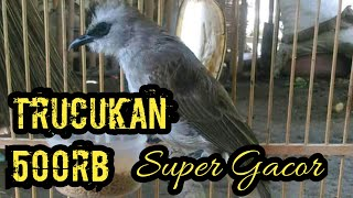 Download Lagu Suara Burung Trucukan Jantan Ropel Super Gacor mp3
