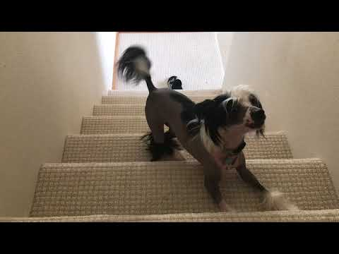 chinese crested dog  019