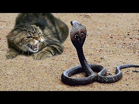 猫是世界上最敢玩蛇的动物 大战三百回合不服输!