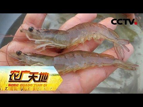 《农广天地》 20171129 大棚高效养殖南美白对虾 | CCTV军事