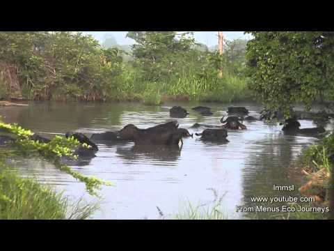 Wild Water Buffaloes & Water Buffaloes In The Wild