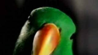 Eclectus Parrot- Aruensis Red-Sided -TV Star of a Washington Post Ad