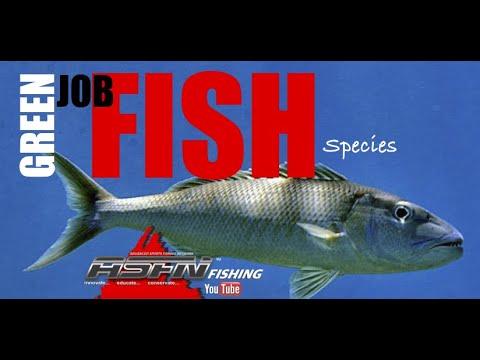 Green Jobfish   Species ASFN Fishing