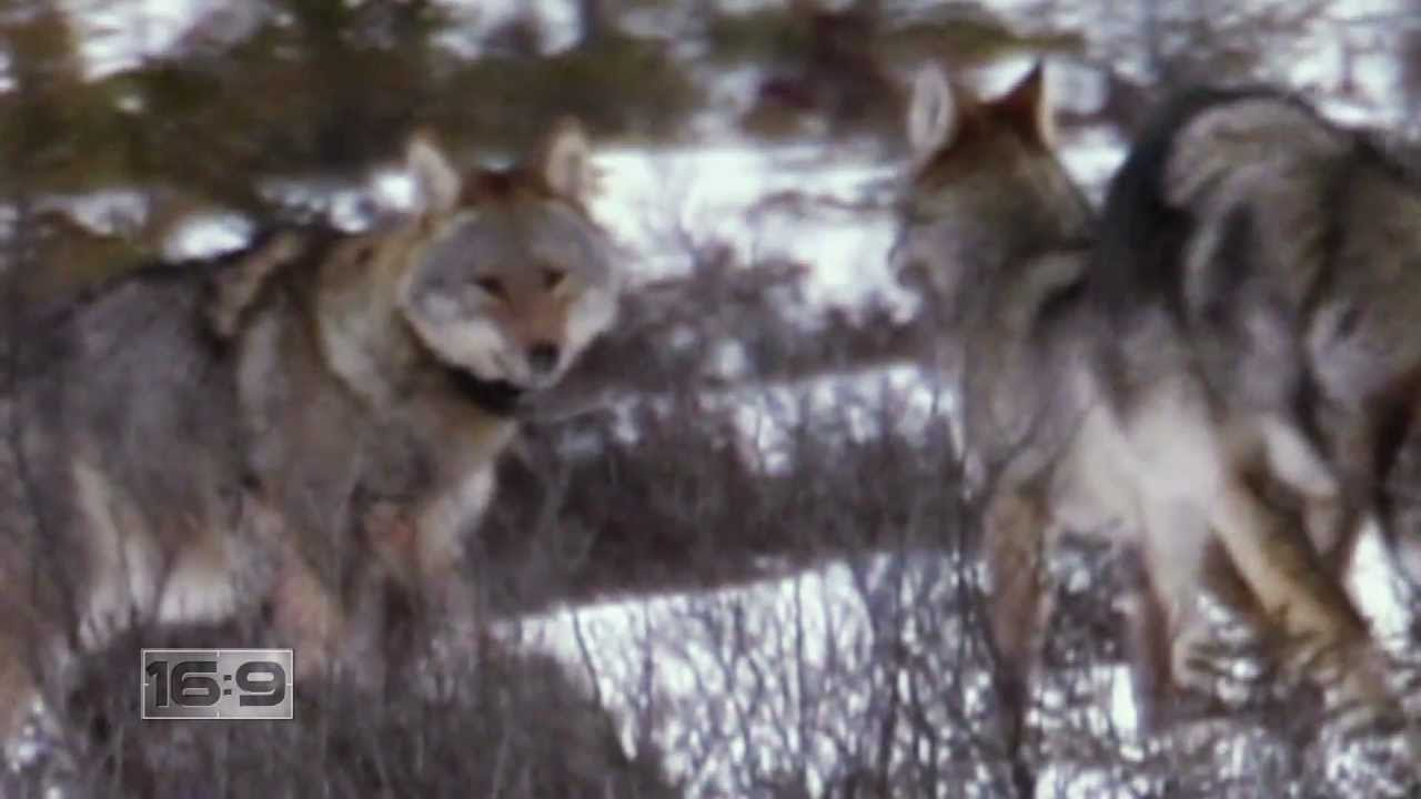 16x9 Wolf Howling Tourists Flock To Algonquin Park