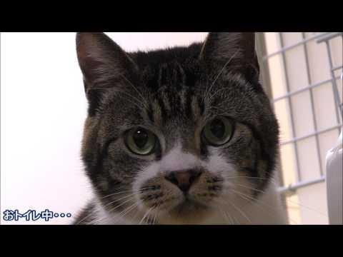 ニャーニャー何かを訴える猫☆リキちゃんが必死に鳴くその理由は・・・汗【リキちゃんねる 猫動画】Cat videos キジトラ猫との暮らし