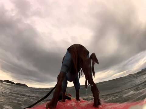 Surfing Dog Irish Setter [ Pino ]20121215