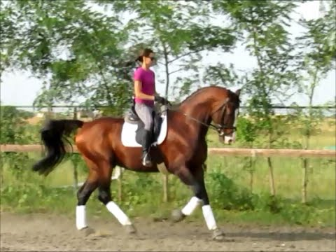 Captain Jack 2005 Oldenburg Breeding Sire - Dressage