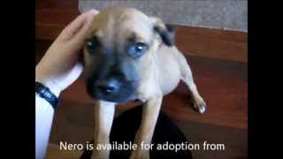 Nero, Mastiff X Boxer Has Been Adopted From Dog Rescue Newcastle