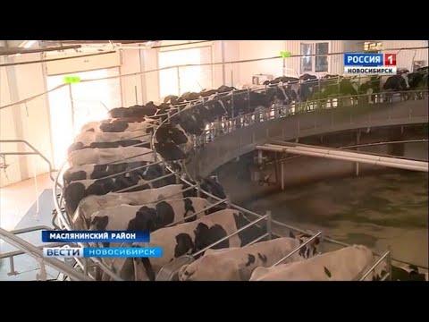Крупный животноводческий комплекс открыли в Маслянинском районе