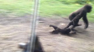 Cute Baby Gorilla Gets Dragged Around By Bigger Gorilla(So we were at this place called