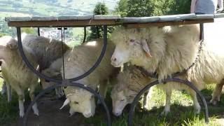 Pomyłka dziecka - pomyliło owieczkę z wielbłądem - śmieszne dzieci