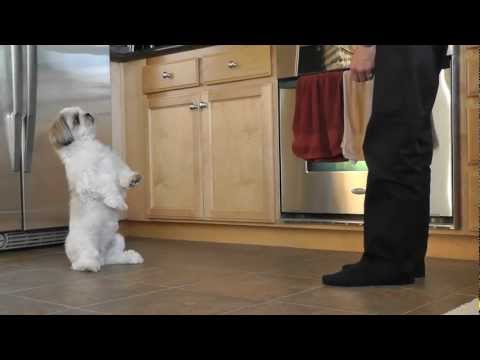 Shih Tzu Training - Cooper's new trick