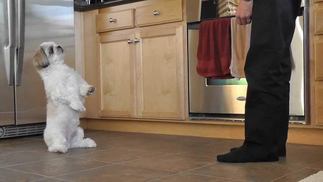 Shih Tzu Training Coopers New Trick Youtube