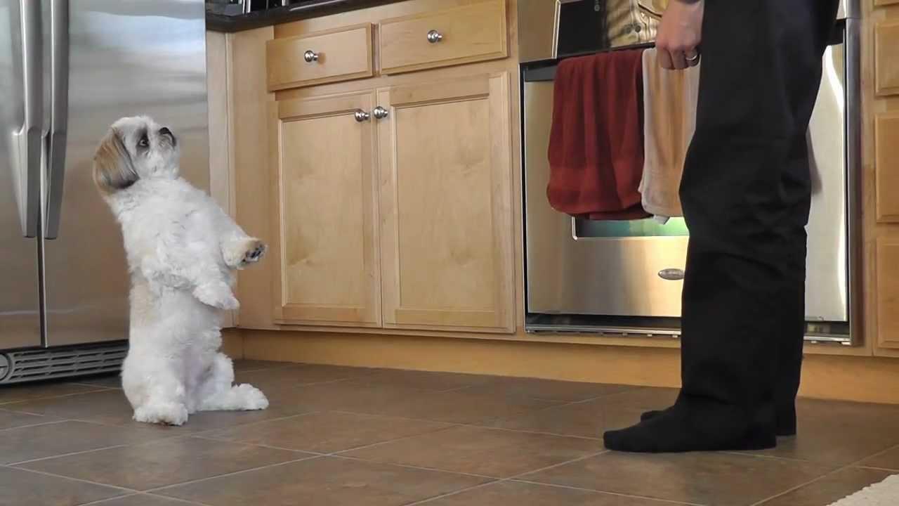 Shih Tzu Training Coopers New Trick Youtube