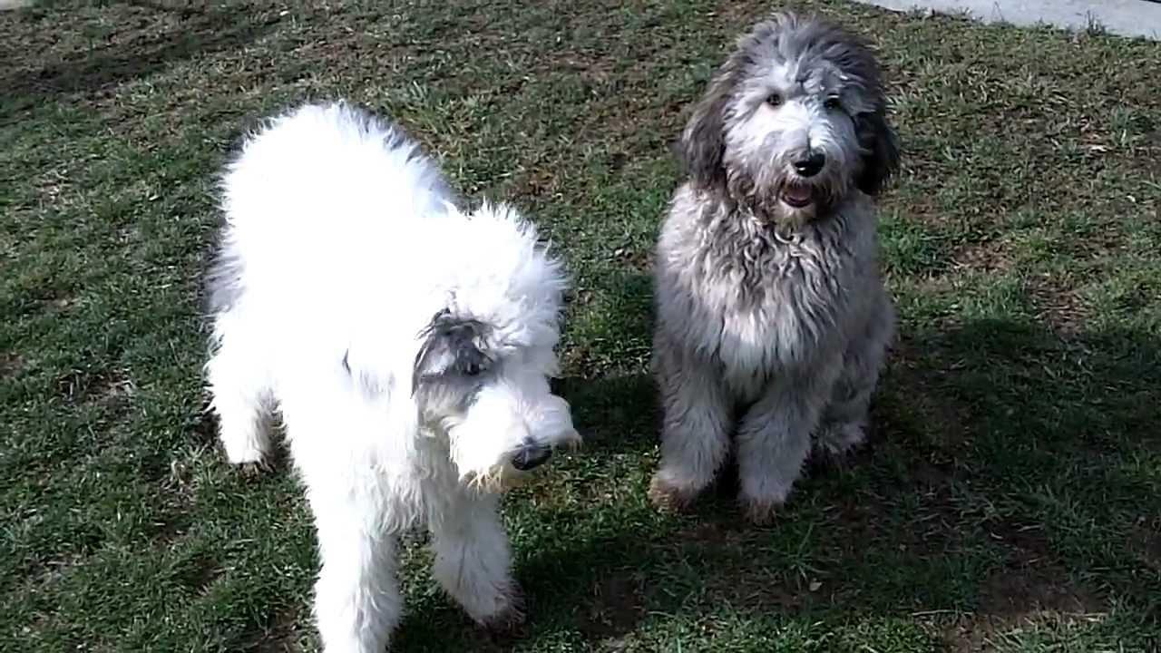 Ellie & Mowgli Sheepadoodle puppies 6 months old