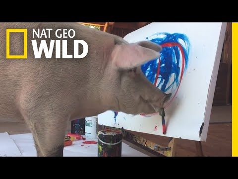Chino - Pigcasso is gaining fame for her paintings!  Watch her work here