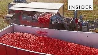 Tomato Color Sorting Machine