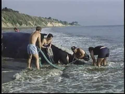 Rescue 911 - Santa Barbara Whale Save