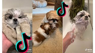 Cutest Shih Tzu  Funny and Cute Shih Tzu Puppies and Dogs Videos