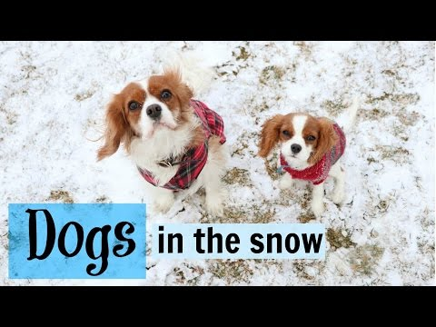 Dogs playing in the snow   Herky & Milton Cavalier King Charles Puppy   Winter dogs