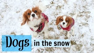 Dogs playing in the snow | Herky & Milton Cavalier King Charles Puppy | Winter dogs