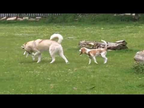 Beagles Bailey & Jjaffa and Husky Rex  at A & B Dogs Boarding & Training Kennels.