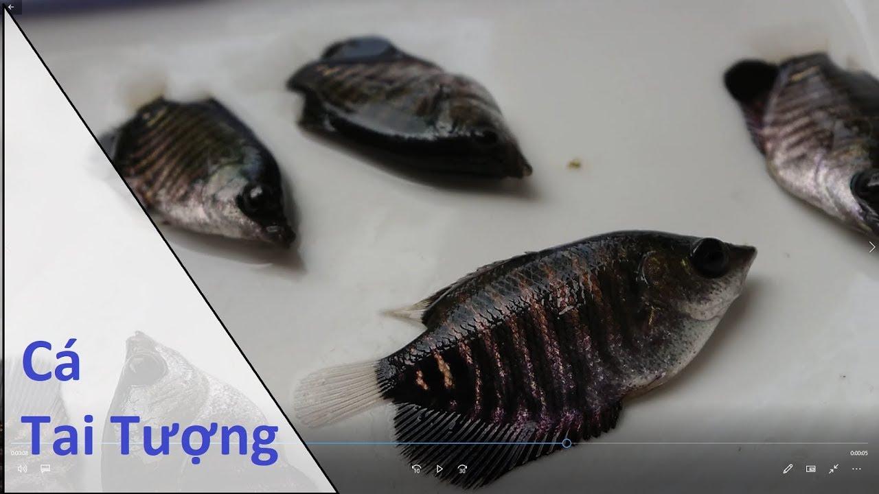 Cá Tai Tượng Giống.