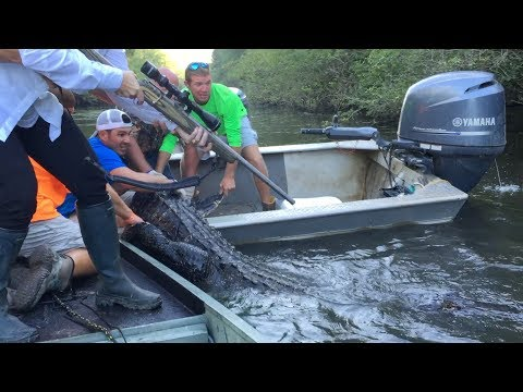 Alligator Hunting In The Atchafalaya Swamp - 2016