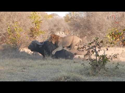 3 Male Lions Take On 3 Buffalo