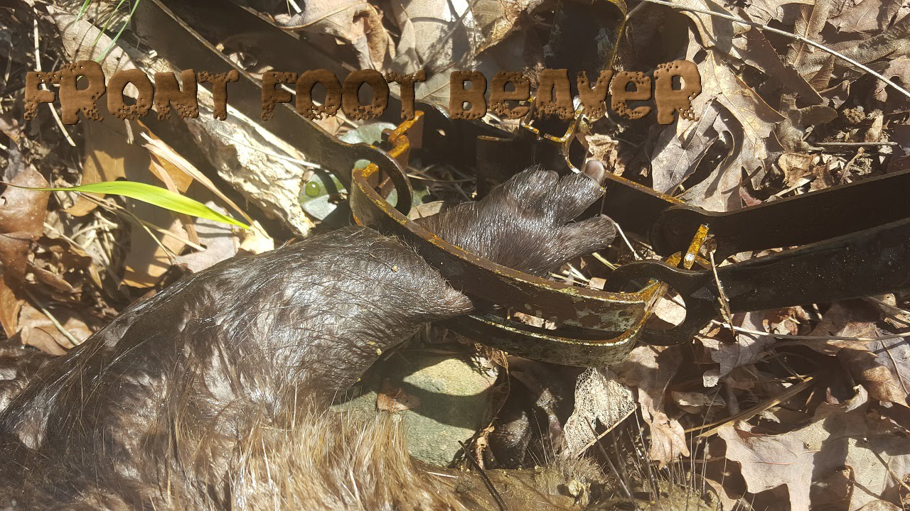 How to Catch Beavers forecast