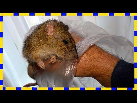Как поймать крысу в частном доме