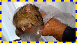 как сделать ловушку для крыс в домашних условиях