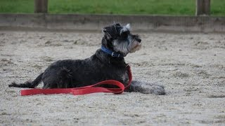 Merlin - Miniature Schnauzer - 3 Week Residential Dog Training At Adolescent Dogs