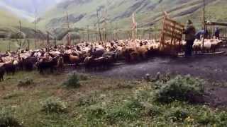 Агульский район. кутан. тяжелый труд агульских чабанов.