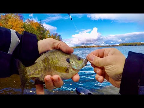 Northern Wisconsin Fall Bluegill Fishing Day! (Very LUCKY Week!)