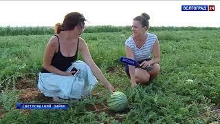 Волгоградка Полина Никишина выращивает уникальную капусту