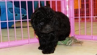 Toy Poodle, Puppies, For, Sale, In, Dover, Delaware, De, Long Neck, Ocean View, Woodside East, Towns