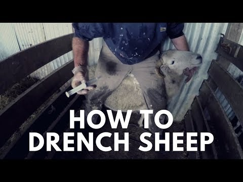 Day 79 - How To Drench Sheep