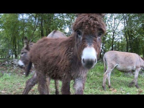 Montenegro's shunned donkeys milk new health trend