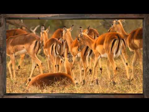 Impala - African Sky