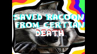 SAVED RACOON FROM CERTAIN DEATH - RACOON RESCUE FROM TRAP